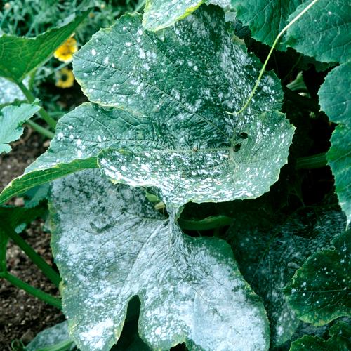 Traiter l o dium jardinage - Maladie des hortensias photos ...