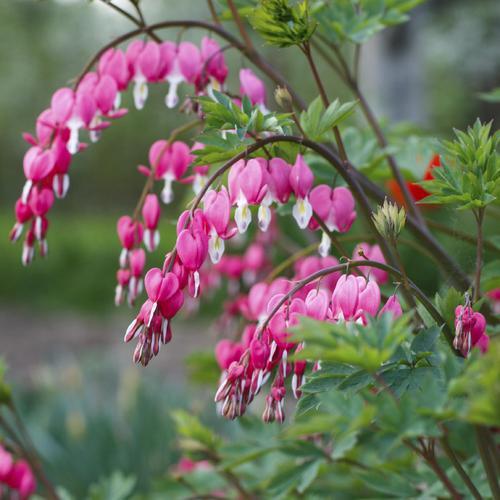 Fleurs vivaces d 39 t liste ooreka for Plants de fleurs vivaces