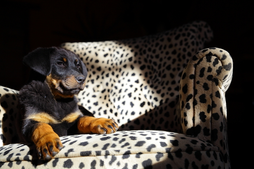 Dominance et soumission du chien