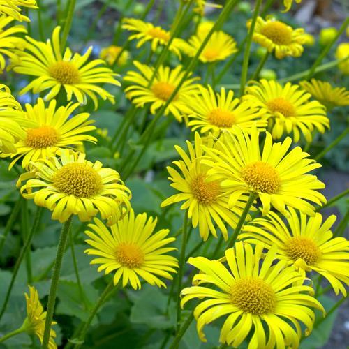 Sa floraison printanière en petites marguerites jaunes est l\u0027une des  premières chez les vivaces. Rustique et facile à cultiver, le doronic  accompagnera avec