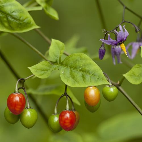 plante grimpante liege