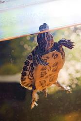tortue eau surface aquarium