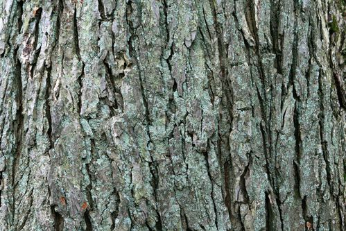Écorce de chêne : propriétés de l'écorce de chêne - Ooreka