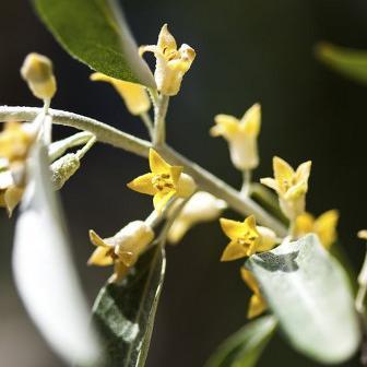 Arbuste fleurs jaunes liste ooreka - Fleur en forme de trompette ...