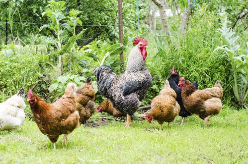 Élevage de poules