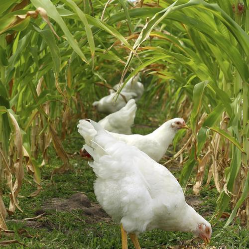 Comment concilier poules et jardin potager