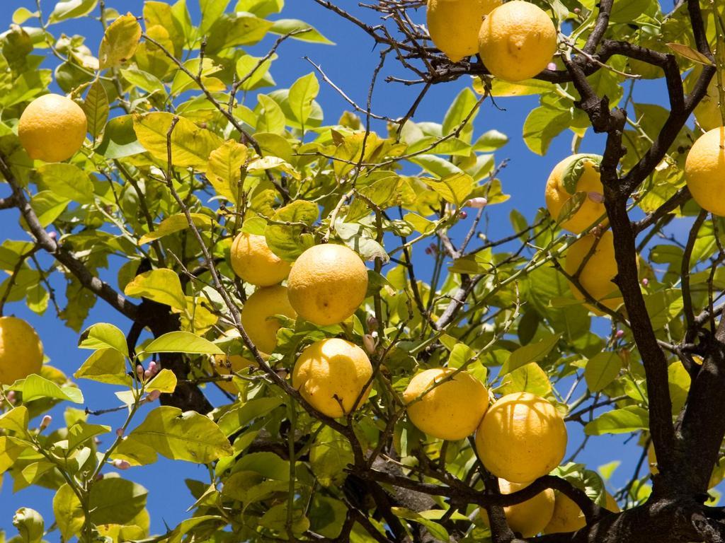 citron et la santé
