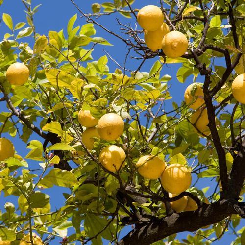 Récolter le citron