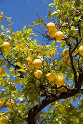Engrais arbres fruitiers