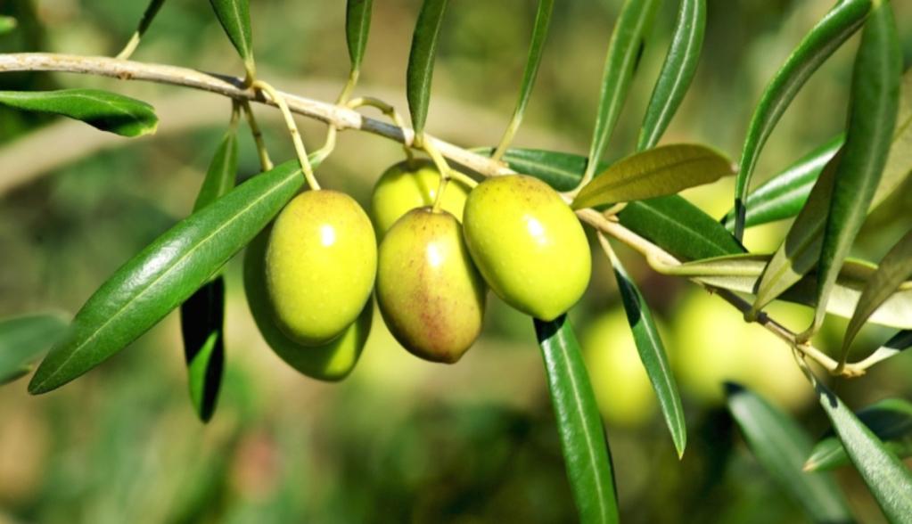 Engrais olivier composition et crit res de choix ooreka - Psylle de l olivier ...