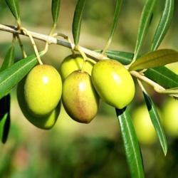 Engrais olivier