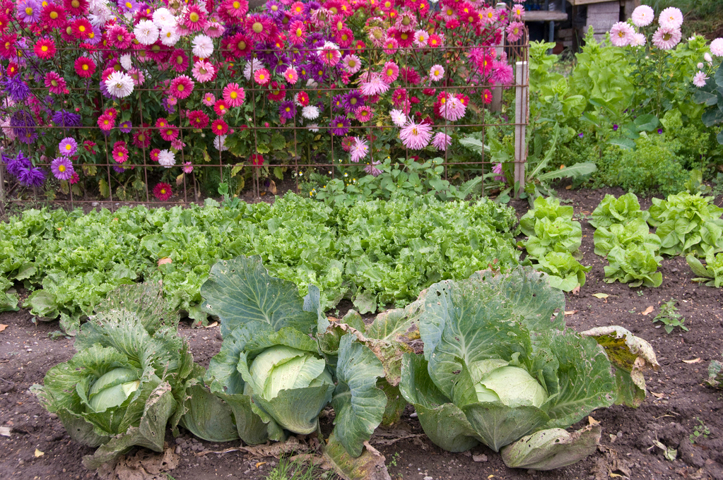 Plantes compagnes ooreka - Quand planter les geraniums ...