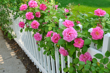 Engrais rosier