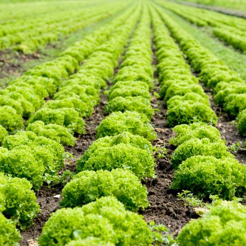 Cultiver des salades