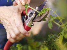 Main coupant une plante avec un sécateur