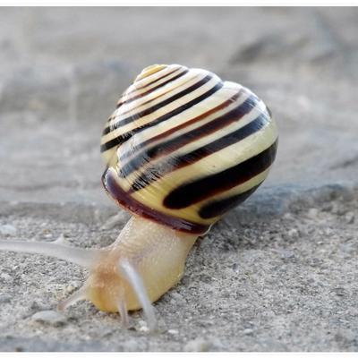 Piège à escargot
