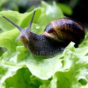 """Résultat de recherche d'images pour """"photo salade avec un escargot"""""""