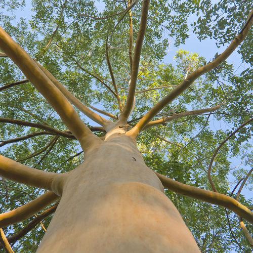 Arbres croissance rapide liste ooreka - Arbre a croissance rapide et feuillage persistant ...
