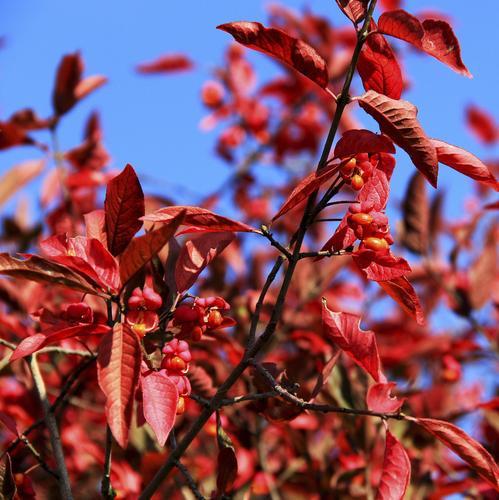 Arbuste feuillage persistant liste ooreka - Arbre a feuille rouge persistant ...