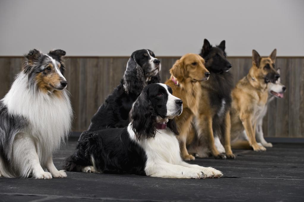 FCI pour chiens