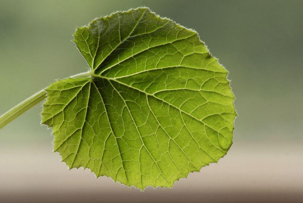 Feuille de courgette couleur des feuilles et maladies - Maladie de la courgette ...