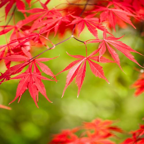 Feuilles d 39 arbres comment les reconna tre ooreka - Comment cuisiner les feuilles de betterave rouge ...