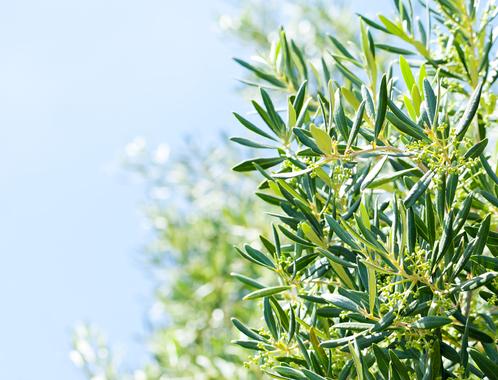 Feuille d'olivier : propriétés des feuilles d'olivier - Ooreka