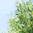 Réussir la greffe d'un olivier