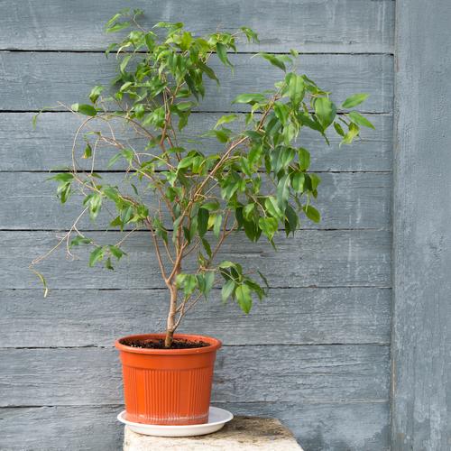 Le Ficus