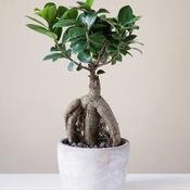 mon ficus ginseng perd ses feuilles que faire jardinage. Black Bedroom Furniture Sets. Home Design Ideas