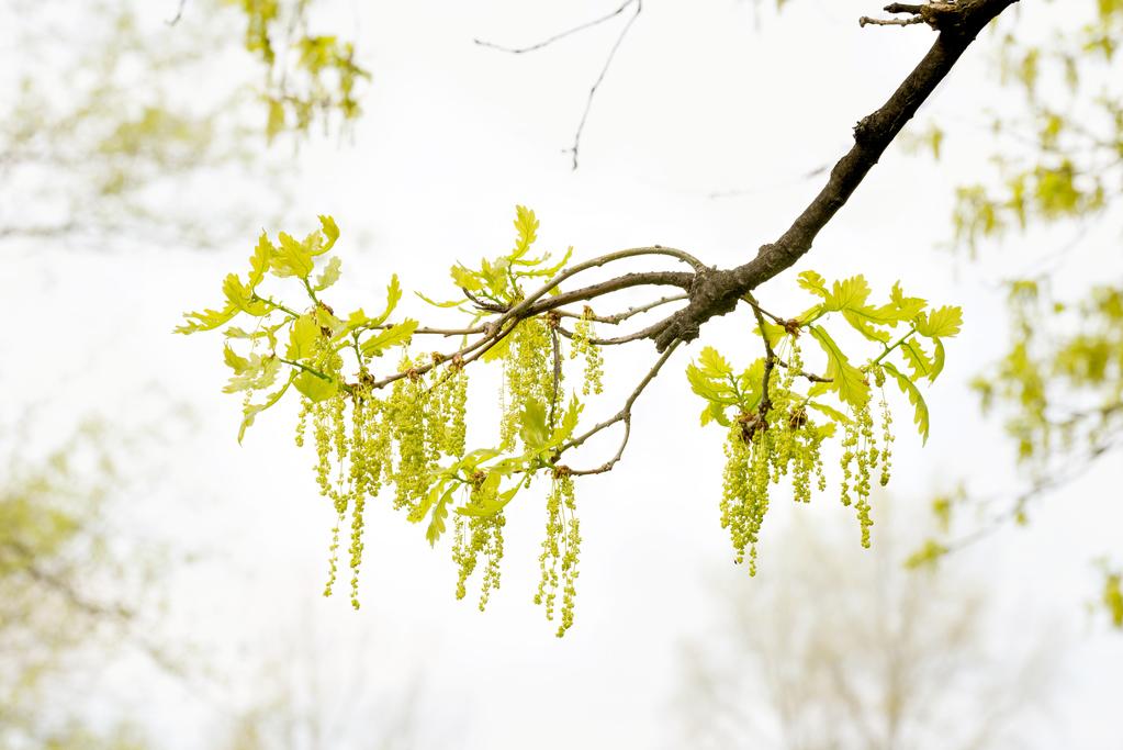 Fleur De Bach Oak Definition Et Utilisations Ooreka
