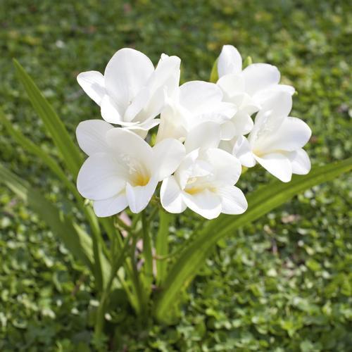 quelles sont les fleurs à planter au printemps ? - ooreka