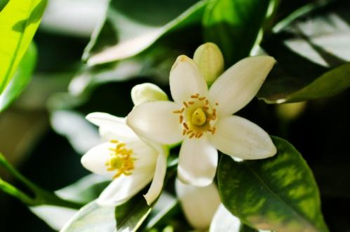 Bienfaits de la fleur d'oranger - Ooreka