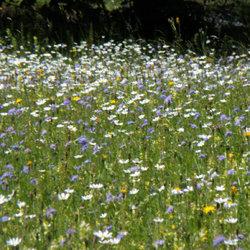 Les fleurs de prairie