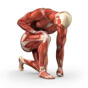 Schéma muscles corps humain