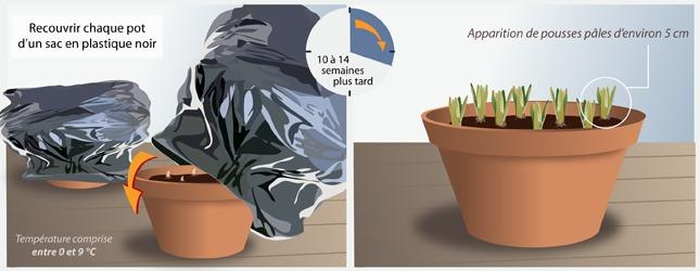Forcer des bulbes jardinage - Comment planter des tulipes en pot ...