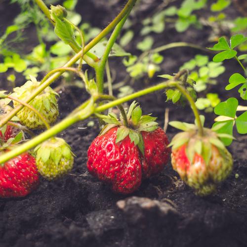 Aromates arbustes quoi planter en ao t ooreka - Quel legume planter en aout ...