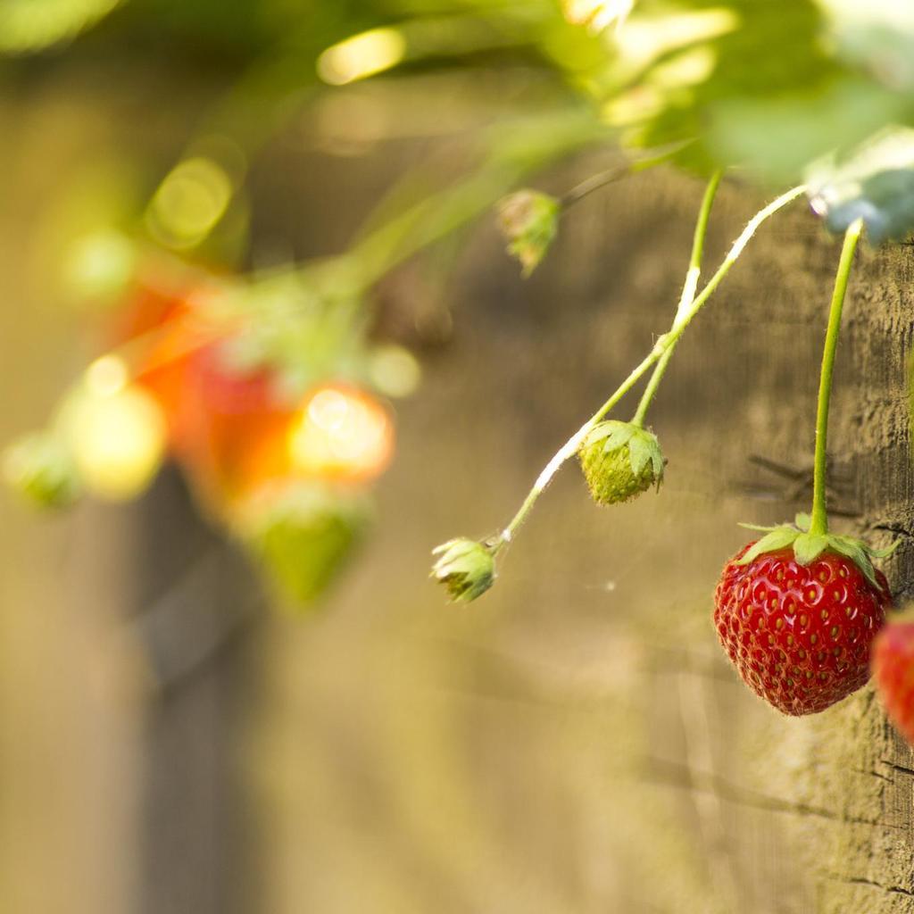 Engrais vos astuces sur - Quel fraisier choisir ...
