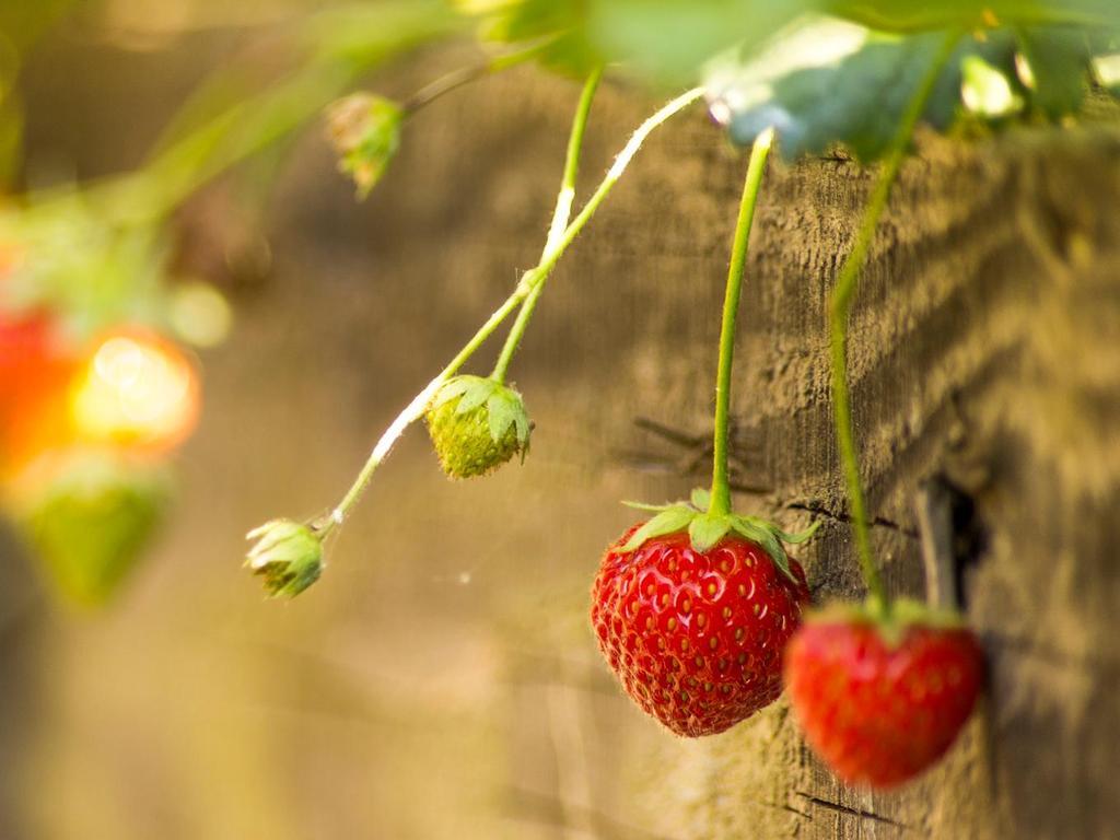 Comment Entretenir Les Fraisiers En Automne fraisier mara des bois : plantation, entretien, goût - ooreka