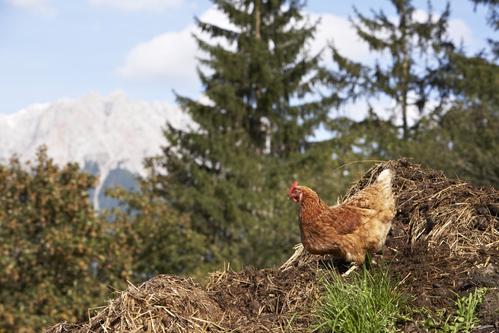 Fumier poule composition et utilisation du fumier de poule - Le fumier de cheval est il bon pour le jardin ...
