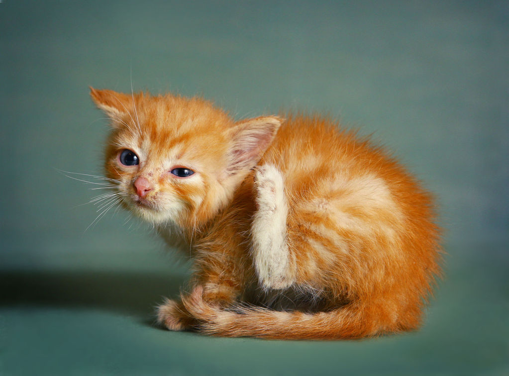 oreille de chat