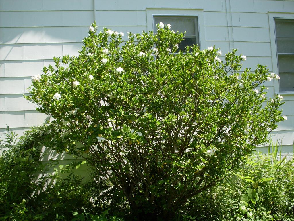 quels sont les arbustes à planter en juin ?