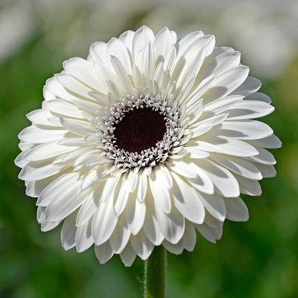 Plante fleurs blanches liste ooreka - Fleur au coeur noir ...