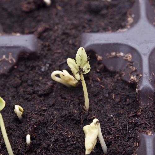Lutter contre la fonte des semis