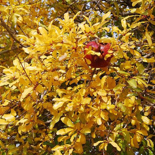 Arbuste jaune liste ooreka for Eleagnus maladie feuilles jaunes