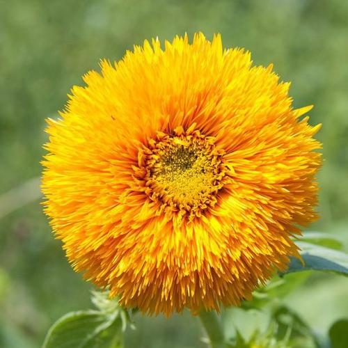 plante à fleurs jaunes : liste - ooreka