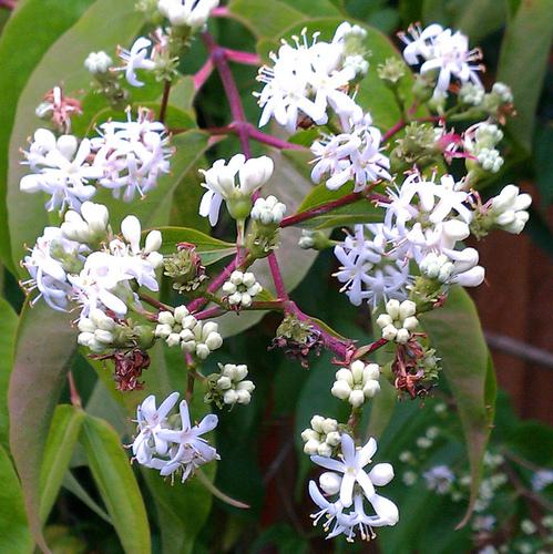 Arbre fleurs blanches liste ooreka - Puceron blanc plante verte ...