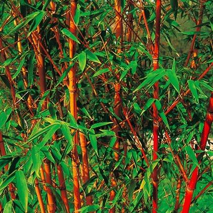 Bambou jaune liste ooreka - Tout sur le bambou ...