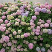 Traiter les maladies des hortensias ooreka - Maladie des hortensias photos ...