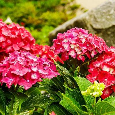 arbuste fleurs rouges liste comprendrechoisir. Black Bedroom Furniture Sets. Home Design Ideas